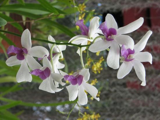 Orchidées - Sri Lanka